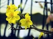 Quand les abricotiers fleurissent au Sud du Vietnam