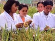 """Nguyên Thi Lang, """"mère"""" des variétés de riz hybrides"""