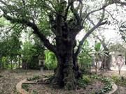 Quang Ngai: un plaqueminier de plus de 200 ans classé patrimoine