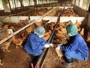 Hanoi : plus de fonds pour lutter contre la grippe aviaire