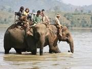 Sauver les derniers éléphants sauvages du Vietnam