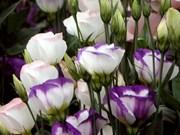 Création d'un label de qualité pour cinq espèces de fleurs de Dà Lat