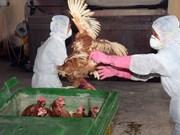 Efforts pour circonscrire la grippe aviaire au Sud