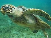 Sauvetage d'une tortue de mer à Thua Thien-Hue
