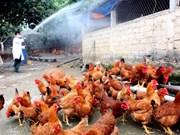 Grippe aviaire : aucun nouveau foyer en deux semaines