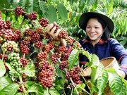 Café : exportation plus d'un million de tonnes ce premier semestre