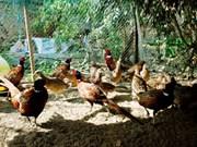 Un foyer de grippe aviaire A/H5N6 à Lao Cai
