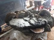 Un champignon de 200 kg trouvé à Dak Lak