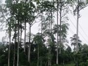Des arbres « cho chi » à Ha Giang reconnus patrimoine national