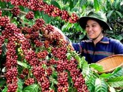 Vietnam: forte hausse des superficies de caféiers certifiés «4C»
