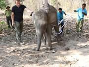 Sauvetage d'un éléphant braconné à Dak Lak