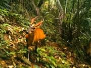 Thua Thiên-Huê: découverte du muntjac dans la réserve du Sao La