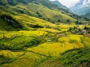 Y Ty : superbes rizières en terrasses au Nord du Vietnam