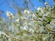 Les pruniers en pleine floraison au pied du col de Tang Quai à Dien Bien