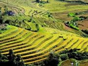 Saison dorée à Ta Leng dans la province de Lai Chau