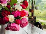 Découvrir un jardin de roses anciennes du Vietnam honoré par le monde