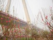Le rouge éclatant des pêchers fleurissant annonce l'approche du Têt à Hanoï