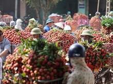 La récolte précoce de litchis dans le district de Luc Ngan, province de Bac Giang