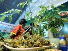 Le ginseng de Ngoc Linh est un trésor du Vietnam