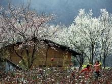 Diên Biên : Terre des vestiges historiques et des fleurs de bauhinie