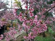 """Les """"To Day"""" fleurissent dans la province septentrionale de Dien Bien"""
