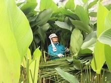 Le plus grand village des feuilles « dong » de Hanoi s'affaire pour le Têt