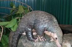 Sauvetage de 63 pangolins par le centre Save Vietnam's Wildlife