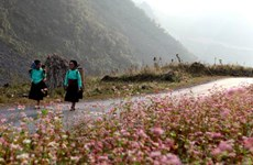 Hà Giang, la prairie en fleurs de sarrasin