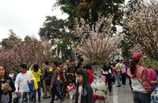 Hô Chi Minh-Ville va fêter les cerisiers en fleurs