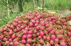 Taiwan (Chine) réimportera des fruits du dragon du Vietnam
