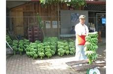 Nouvelle ruralité: Les agriculteurs frontaliers de Huôi Luông misent sur la bananiculture