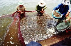 Aide européenne de 62,5 milliards de dongs pour un projet de crevetticulture durable