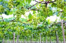 Ninh Thuân est prête pour la Fête de la Vigne et du Vin 2016