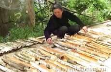 Les canneliers font la prospérité de Yên Bai