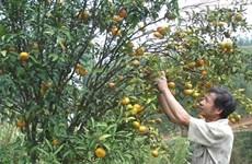 Cao Bang : enregistrement d'une marque collective pour la mandarine de Trà Linh
