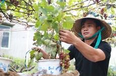 Apparition de vignes ornementales sur le marché du Têt