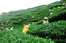 Thé : 20.000 agriculteurs participeront à un partenariat public-privé pour une production durable