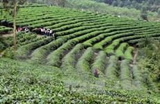 Une entreprise japonaise veut rejoindre l'industrie du thé du Vietnam