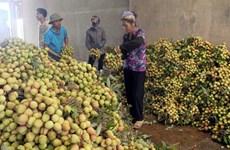 Bac Giang va exporter la moitié de sa production de litchi