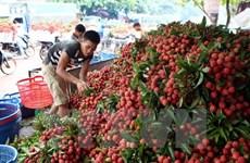 Bac Giang exporte plus de 9.500 tonnes de litchis en Chine