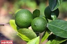 La filière des citronniers «tu quy» dans la province de Hung Yên