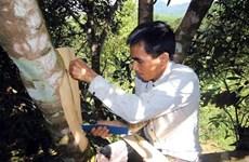 Des canneliers séculaires, joyaux de la montagne de Ngoc Linh