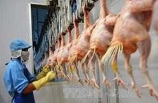Le Vietnam projette d'exporter la viande de poulet en Union européenne