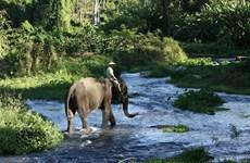 La province de Dak Lak renforce la protection des éléphants
