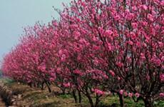 Les fleurs de pêcher de Nhât Tân s'épanouissent sur le haut plateau de Lâm Dông