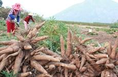 2018: le secteur du manioc commence l'année en beauté