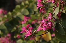 Hanoï à la saison des fleurs de bauhinie
