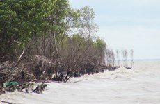 Plusieurs superficies de forêt de protection de la digue maritime ravagées à cause de l'érosion