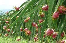 Binh Thuan vise le développement durable des pitayas