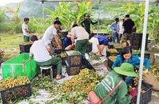 Les 40 tonnes de longanes de Sông Ma expédiées vers la Chine